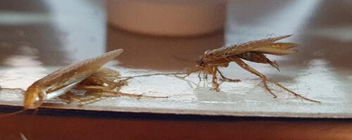 Kakerlaken in der Wohnung